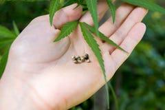 Weed marijuana cannabis seed leaf hand man drug. Men hand with leaf and seed cannabis weed stock photo