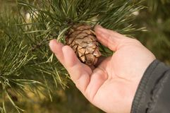 Men hand tear the cone of a pine, pine with green pine branches of the tree the concept of Christmas, holiday and new year. Men hand tear the cone of a pine Stock Photo