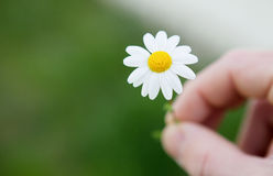 Men hands holding a beautiful daisy Stock Photo