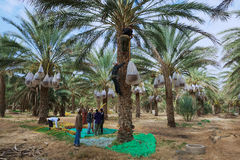 Men harvest dades in El Goula, Tunisia. Stock Photography
