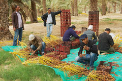 Men harvest dates in El Goula, Tunisia. Stock Photography