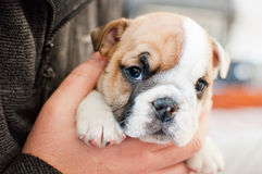 Men holding an English Bulldog puppy Royalty Free Stock Images