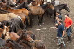 Men and horses. PONTEVEDRA - AUG 2: Horse trainers, choose wild horse in a traditional celebration Haircut the beasts on August 2, 2009 in Pontevedra, Spain Royalty Free Stock Image