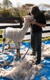 Men pets an alpaca. Shearer pets white Huacaya alpaca Stock Image