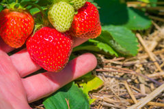 Men picking of fresh organic strawberry in the field.  Royalty Free Stock Photos