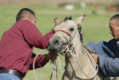 Men put bridle on foal, circa Harhorin, Mongolia. Royalty Free Stock Images