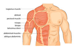 Men s body arms shoulders chest and abs. Illustration of a male body arms shoulders chest and abs. bodybuilding Stock Images