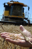 Men's hand holds the ear of wheat Royalty Free Stock Images