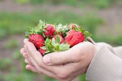 Men's hands hold a strawberry, background Garden Stock Photo