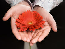 Men's hands holding a flower. Isolated on black background Royalty Free Stock Photos