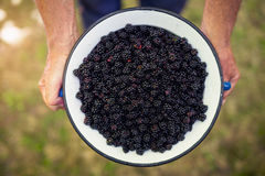 Men's hands holding a metal bowl of blackberries Royalty Free Stock Photography