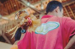 Men's Red Top and Brown Rooster Royalty Free Stock Image