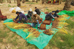 Men sort dates in El Goula, Tunisia. Royalty Free Stock Images