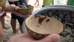 Turtle sanctuary. Men take turtles  from container with many newborn turtles and give them to another people, close-up men hand and little turtle in wooden bowl stock footage