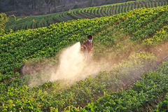 Men from Thailand  spraying strawberry plant Stock Photo