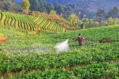 Men from Thailand  spraying strawberry plant Royalty Free Stock Photo