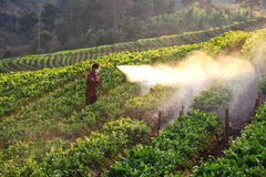 Men from Thailand  spraying strawberry plant  Men from Thailand  spraying straw Royalty Free Stock Photos