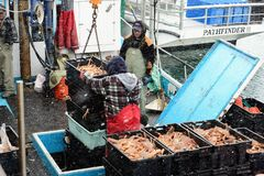 Men unloading snow crabs Stock Photos