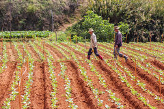 Men walking on the field. Men are walking on the vegetable field  on vegetable field, Da Lat, Lam Dong province, Vietnam. Lam Dong Province is the largest place Royalty Free Stock Photos