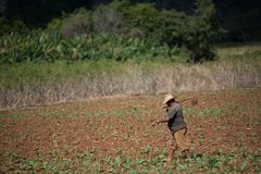 A men walking a tobacco field with hoes. A men walking a tobacco field with his hoes in Vinales Valley, Cuba Stock Photography