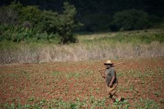 A men walking a tobacco field with hoes. A men walking a tobacco field with their hoes in Vinales Valley, Cuba Stock Image