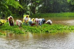 Men and women working in paddy field, paddy cultivation, near Lavasa. Pune Royalty Free Stock Photos