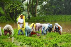 Men and women working in paddy field, paddy cultivation, near Lavasa. Pune Royalty Free Stock Images