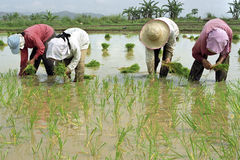 Men and women working in a rice field Royalty Free Stock Image