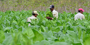 Men working on Cuba tobacco plantation. Royalty Free Stock Photo