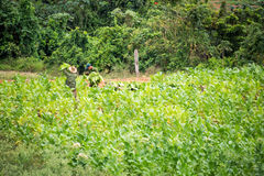Men working in a field during harvest in Vinales, Cuba Royalty Free Stock Photo