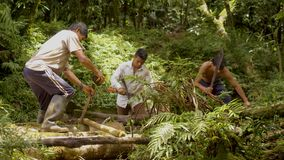Men working in forest. Amazonian deforestation, man cutting tree log with saws in amazon jungle in Ecuador stock video