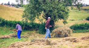 Men working hard raking dry hay on field Stock Image