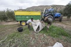 Two local men working during olive harvest, Jaén, Spain royalty free stock photos