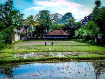 Men working in rice field. Men working in a rice field in Ubud, Bali Royalty Free Stock Image