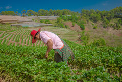 Men working strawberry field Stock Image