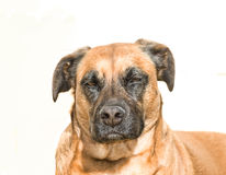 Menacing Defiant Dog Royalty Free Stock Photography