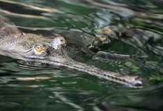Swamp Monster Actually a Gavial Crocodile in a River. Menacing looking gavial crocodile in a river stock image