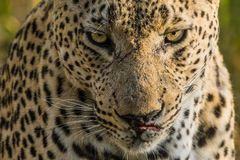A menacing male leopard stared us down. A fully grown male leopard stared us down menacingly after we found him gorging himself on a kill he had made recently Royalty Free Stock Photos