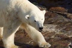 Menacing polar bear. Dangerous polar bear, showing teeth, walking royalty free stock images