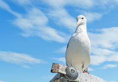 Menacing seagull Royalty Free Stock Image