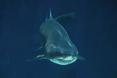 Menacing Shark Royalty Free Stock Images