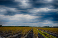 Menacing skies over Blueberry farm Stock Image