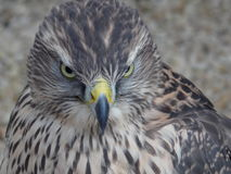 A Menacing Stare. From a Goshawk Stock Images