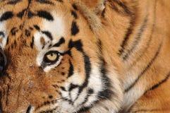 Menacing Tiger Royalty Free Stock Image