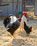 Menage a trois. Two roosters and a hen seemingly visiting, in a sunny chicken coop Stock Photography