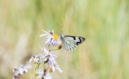 Menapia blanc de Neophasia de papillon de pin recueillant le pollen Image stock