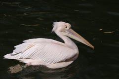 Menchia barwiony Wielki Biały pelikan Zdjęcia Royalty Free