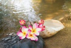 Menchia kwiatów plumeria na siklawy skale z s lub frangipani Zdjęcia Stock