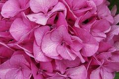 Menchia kwiatów tła zakończenie up Fotografia Stock