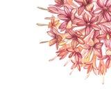 Menchia kwiat?w gambir wydobuje ro?liny akwareli botaniczne ilustracje ilustracja wektor